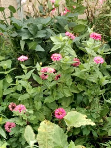 回老家了,妈妈家里种的花。