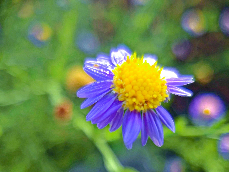 【NEX】亦紫亦蓝紫菀花