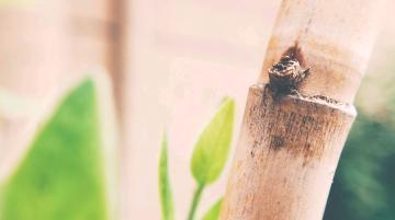 【NEX样张】枯黄的竹竿