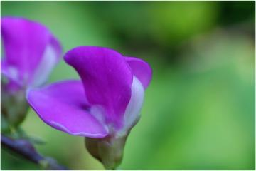 『微距摄影作品·紫和绿』