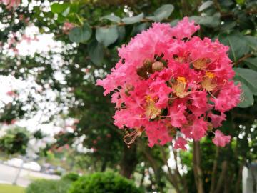 紫薇花对紫微翁,名目虽同貌不同。 独占芳菲当夏景,不将颜色托春风。