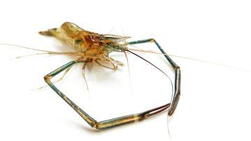 vivoxplay6~ 一只小虾