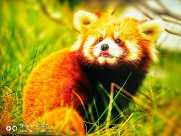 【秋】熊猫基地的秋意浓(四)