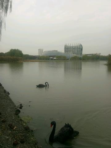 东华大学松江校区镜月湖黑天鹅