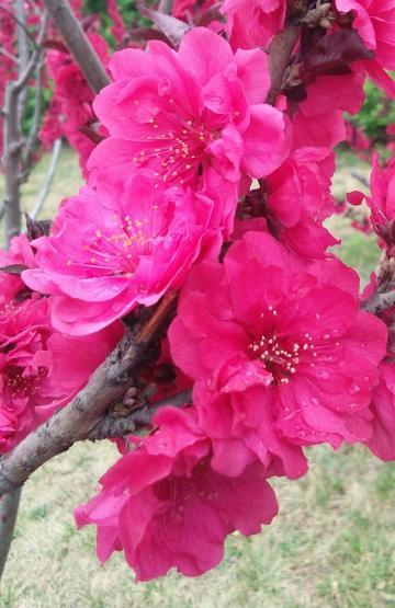 再看美丽的桃花