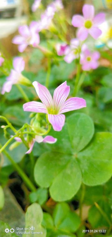 【X21】美丽盛放了红花酢浆草