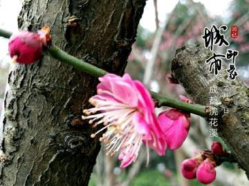 随拍   浣花溪赏红梅