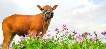【NEX双屏版样张】二头牛