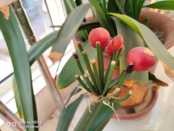 春天里,阳台上,君子兰,花与果
