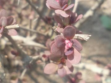 紫叶小檗的春天