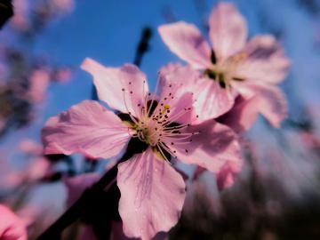 【NEX双屏版】桃花朵朵开