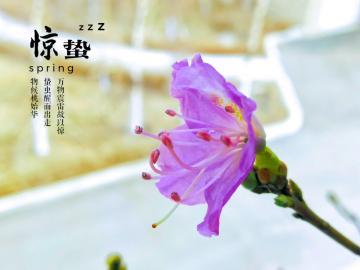 【寻春】_金达莱花