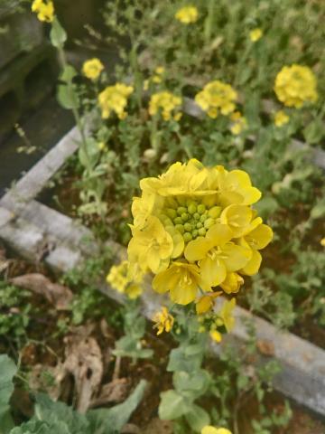 一个油菜花