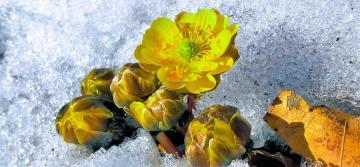 【寻春】 顶雪而出-冰凌花