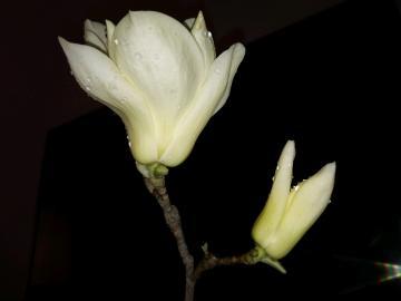 【寻春】春之小夜曲――玉兰花开