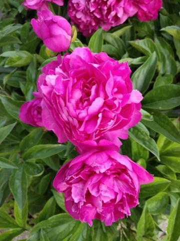 美丽的芍药花。