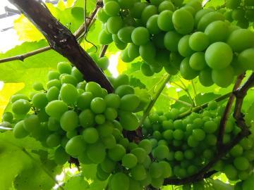 我家的葡萄