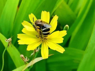 蜂已招,蝶未引