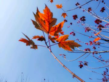 【iQOO Neo】入冬红叶那么的养眼