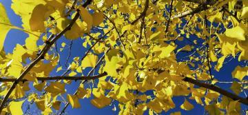 【x21s】 银杏树的秋韵